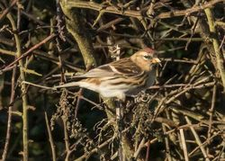 Lesser Redpoll photographed at Pleinmont on 1/11/2015. Photo: © Cindy  Carre