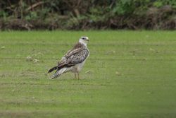 Buzzard photographed at St Saviour (Parish) on 10/11/2015. Photo: © Jason Friend