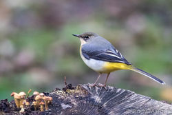 Grey Wagtail photographed at Petit Bot [BOT] on 14/11/2015. Photo: © Andy Marquis