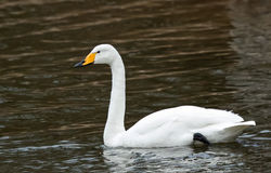 Whooper Swan photographed at Reservoir [RES] on 5/12/2015. Photo: © Anthony Loaring