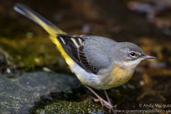 Grey Wagtail photographed at Petit Bot [BOT] on 26/12/2015. Photo: © Andy Marquis