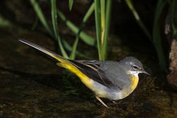 Grey Wagtail photographed at Petit Bot [BOT] on 15/2/2016. Photo: © Rod Ferbrache