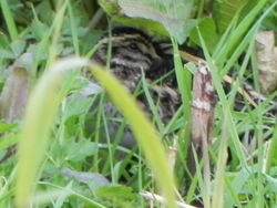 Jack Snipe photographed at Grands Marais/Pre [PRE] on 23/2/2016. Photo: © Tony Bisson