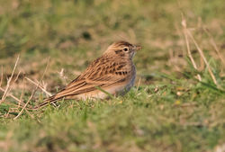 Short-toed Lark photographed at Fort Hommet [HOM] on 16/9/2016. Photo: © Anthony Loaring
