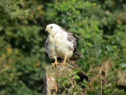 Buzzard photographed at Rue des Hougues, STA [H04] on 15/10/2016. Photo: © Mark Guppy