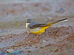 Grey Wagtail photographed at St Peters Village [SPW] on 28/11/2016. Photo: © Mike Cunningham