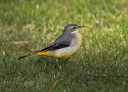 Grey Wagtail photographed at St Peter Port [SPP] on 18/12/2016. Photo: © Mike Cunningham