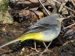 Grey Wagtail photographed at Petit Bot  on 20/1/2017. Photo: © Susan Whitmore