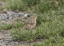 Short-toed Lark photographed at Mt. Herault [MHE] on 5/9/2017. Photo: © Anthony Loaring