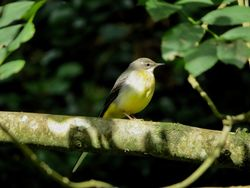 Grey Wagtail photographed at Petit Bot [BOT] on 28/10/2017. Photo: © Mark Guppy