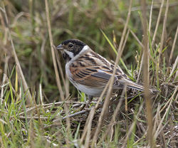 Reed Bunting photographed at Claire Mare [CLA] on 6/3/2018. Photo: © Mike Cunningham