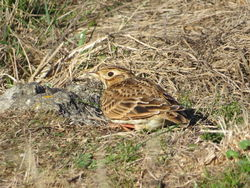 Skylark photographed at L'Eree [LER] on 26/9/2018. Photo: © Mark Guppy