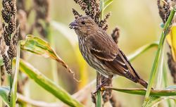 Common Rosefinch photographed at Pleinmont [PLE] on 1/10/2018. Photo: ©  Rockdweller