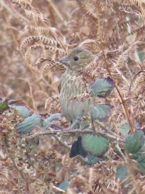 Common Rosefinch photographed at Pleinmont [PLE] on 4/11/2018. Photo: © Wayne Turner