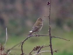 Common Rosefinch photographed at Pleinmont [PLE] on 5/11/2018. Photo: © Wayne Turner