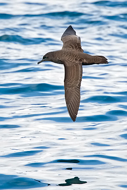 Sooty Shearwater. Photo: © Paul Hillion