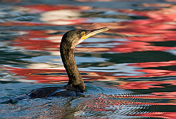 Shag. Photo: © Paul Hillion