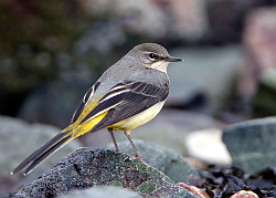 Grey Wagtail photographed at Belle Greve Bay on 2/2/2008. Photo: © Paul Hillion