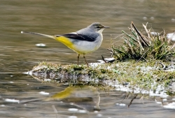 Grey Wagtail photographed at Rue des Bergers NR on 0/0/0. Photo: © Paul Hillion