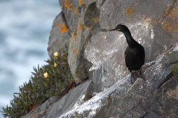 Shag. Photo: © Steve Levrier