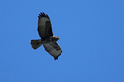 Buzzard photographed at Reservoir on 10/4/2008. Photo: © Steve Levrier