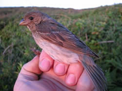 Common Rosefinch photographed at Pleinmont [PLE] on 2/6/2006. Photo: © Jamie Hooper