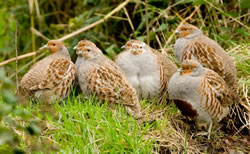 Grey Partridge photographed at The Bowl [BOL] on 0/11/2008. Photo: © Phil Alexander