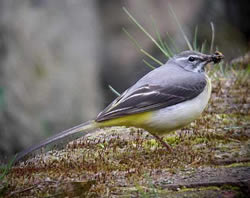 Grey Wagtail photographed at Talbot Valley [TAL] on 0/5/2009. Photo: © Mark Guppy