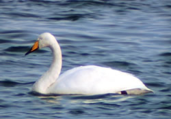 Whooper Swan photographed at Grandes Havres [GHA] on 19/10/2002. Photo: © Mark Lawlor